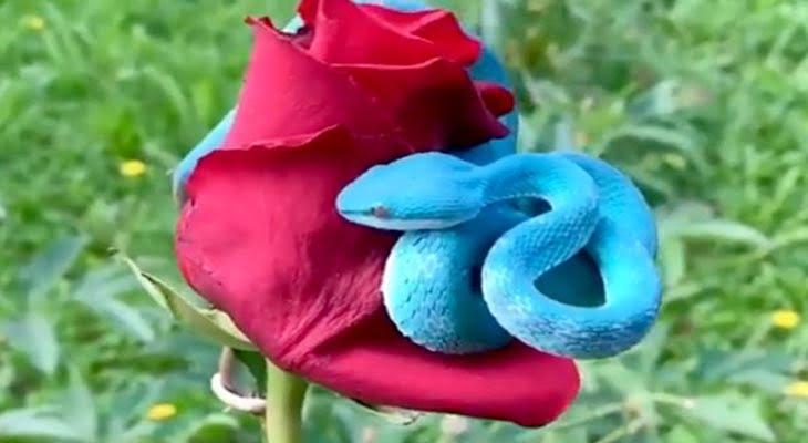 গোলাপের মাঝে কুণ্ডলী পাকিয়ে ভয়ঙ্কর নীল সাপ! (ভিডিও)