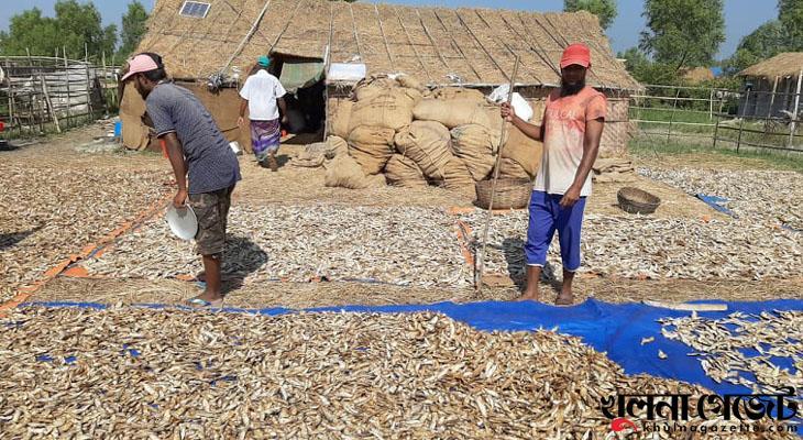 সুন্দরবনের দুবলার চরে শুঁটকি তৈরিতে ব্যস্ত জেলেরা