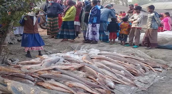 মৎস্যজীবীর জালে ধরা পড়া লাউভোলা মাছ বিক্রি করেছেন ৫ লাখ ৯০ হাজার টাকা