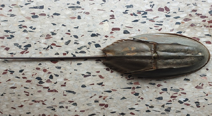 বাগেরহাটে পাওয়া গেল বিলুপ্ত প্রায় রাজকাকড়া
